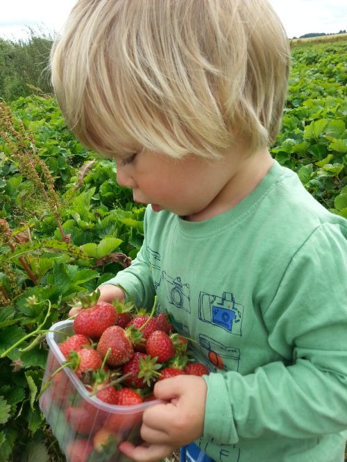 strawberry picking farmer copleys